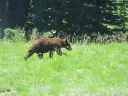The troubling bear, strolling through the Summerland camp area shortly after I arrived. Distinguishable from the other bear in the area that day by its darker coloring below a lighter coloring on top.